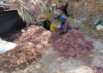 Pengeringan hasil panen rumput laut di Maluku. FOTO: DFW-INDONESIA