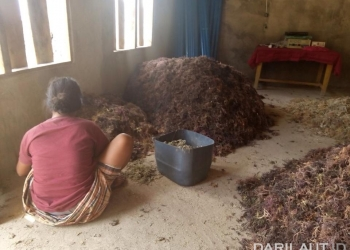 Hasil panen rumput laut di Maluku. FOTO: DFW-INDONESIA