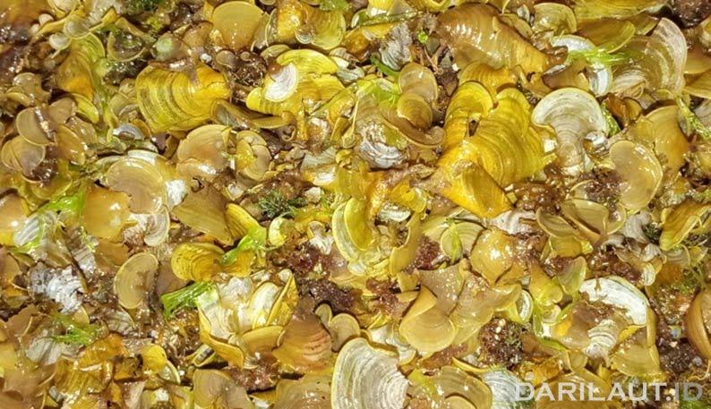 Ekstrak alga coklat untuk sistem kekebalan tubuh. FOTO: DOK.UGM.AC.ID