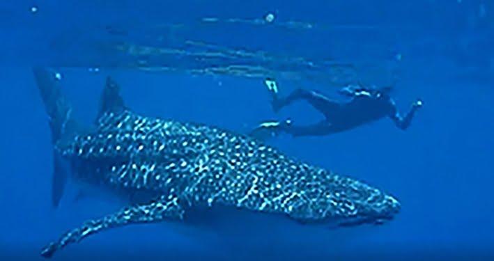 Wisatawan mancanegara melihat dan merekam hiu paus di perairan Gorontalo, Maret 2010. FOTO: DAVE EHRMANN/MIGUEL'S DIVING