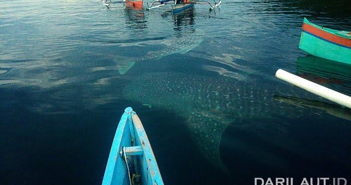 Hiu paus di perairan Botubarani, Mei 2017. FOTO: VERRIANTO MADJOWA