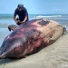 Seekor lumba-lumba hidung botol ditemukan mati terdampar di pantai Ujung Sikandang, Singkil Utara, Kabupaten Aceh Singkil, Minggu (15/7) sore. FOTO: DOK. BPSPL PADANG
