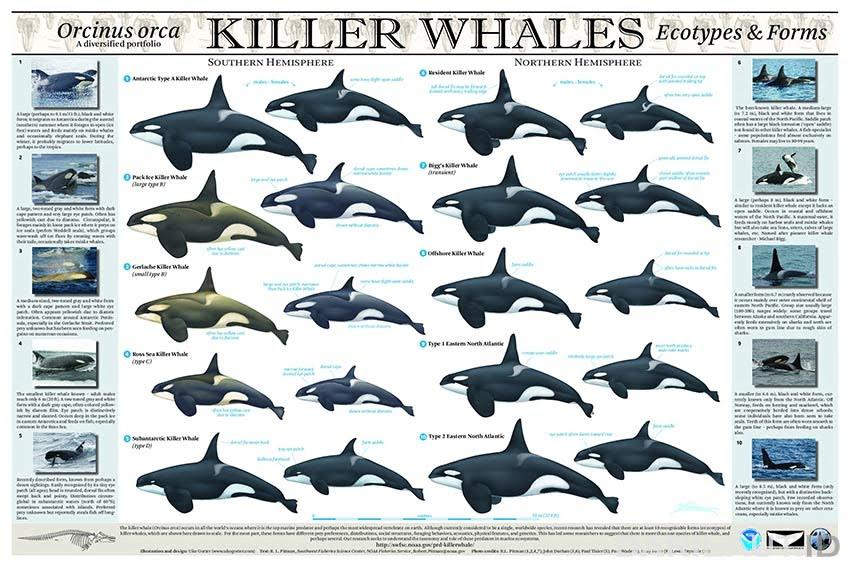 Poster ekotipe paus orca.
