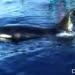 Paus orca yang masuk dalam jaring kapal ikan Putra Laut, kemudian dilepas kembali di perairan Gorontalo, Teluk Tomini, November 2016. FOTO: NUNUN HARUN
