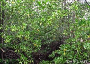 Mangrove. FOTO: DARILAUT.ID