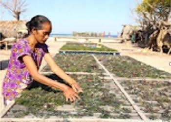 Menjemur rumput laut. FOTO: DOK. BKKPN KUPANG