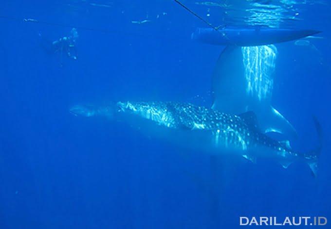 Agregasi hiu paus di perairan Botubarani, Gorontalo. FOTO: DARILAUT.ID
