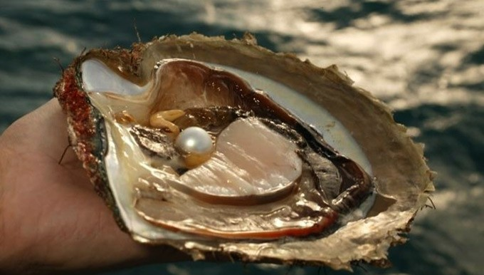Mutiara Laut Selatan, diproduksi spesies kerang PINCTADA MAXIMA. FOTO: DOK. ISTIMEWA