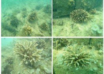 Pertumbuhan 45 hari fragmen karang Acropora pada terumbu buatan APR (Artificial Patch Reef) di Pulau Panjang, Jawa Tengah (Munasik et al., 2017).