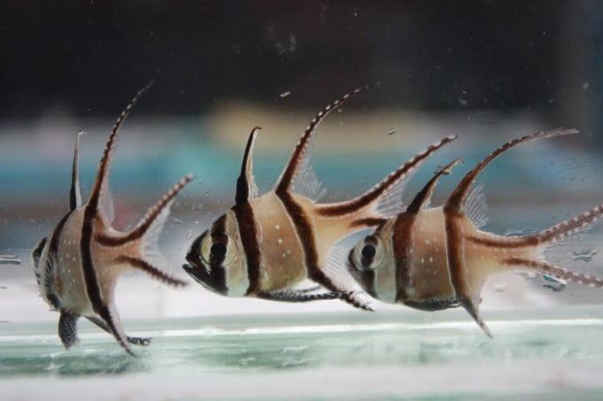 Banggai Cardinal Fish. FOTO: DOK. KKP