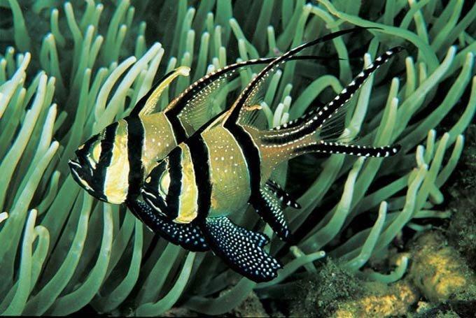 Banggai Cardinal Fish, BCF. FOTO: BANGGAI-RESCUE.COM