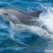 Lumba-lumba hidung botol (bottlenose). FOTO: DOK. OCEANA.ORG