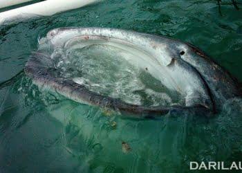 Hiu paus naik ke permukaan, sambil membuka mulut dan menyedot air. FOTO-FOTO: DARILAUT.ID