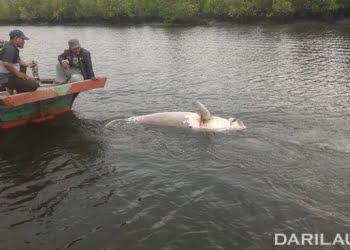 Dugong betina ditemukan mati terapung, Kamis (6/9).FOTO: DOK. BPSPL PADANG SATKER PEKANBARU