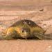 Penyu pipih (Natator depressus). FOTO: IUCN/CALEN OFFIELD
