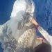 Mola-mola ditangkap nelayan di Teluk Manado. FOTO: DOK. ISTIMEWA