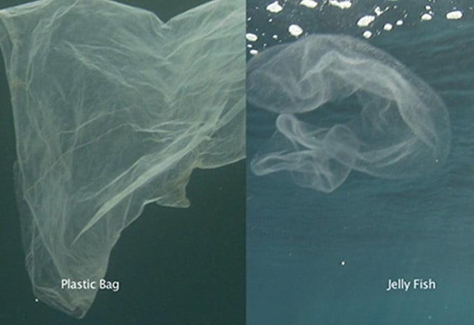 Penyu tak bisa membedakan plastik yang mirip dengan ubur-ubur. FOTO: NOAA FISHERIES