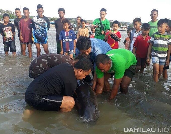 Paus kepala melon (Melon-headed whales) yang terdampar dilepas kembali ke laut. FOTO: DOK. BKKPN KUPANG