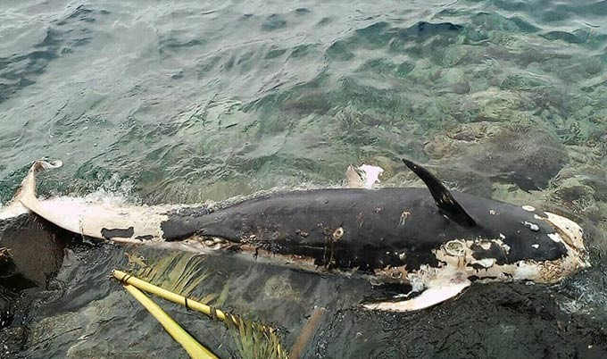 Paus Pilot (GLOBICEPHALA MACRORHYNCHUS) ditemukan terdampar di Tanjung Seli, Tidore Kepulauan, awal Juli 2018. FOTO: LOKA PSPL SORONG