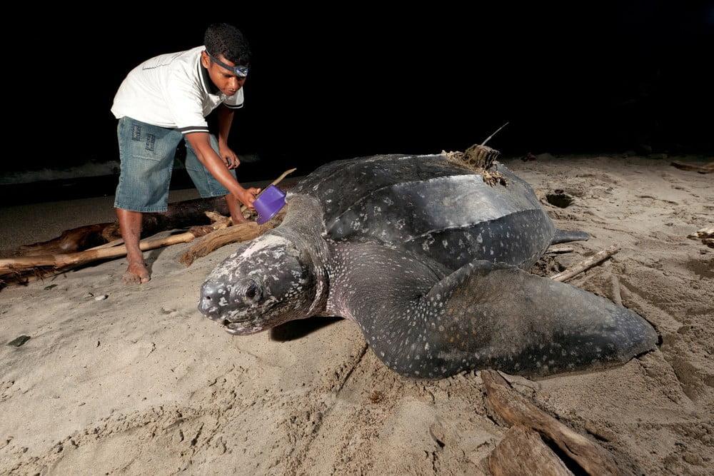Salah seorang staf WWF Indonesia memasang tag penyu belimbing di Kabupaten Tambrauw. FOTO: WWF Indonesia