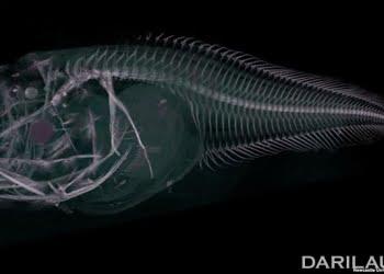 Hasil CT Scan spesies baru ikan siput Atacama. Ikan ini ditemukan di Palung Atacama, sebelah barat pantai Chili dan Peru, di kedalaman hampir 8.000 meter. FOTO: NEWCASTLE UNIVERSITY