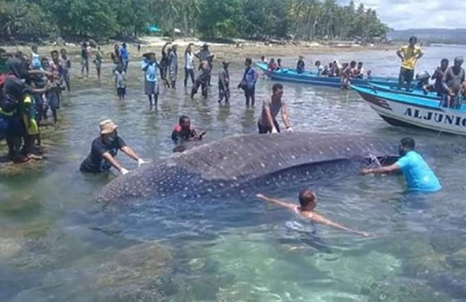 Hiu paus yang mati terdampar di Pulau Mansinam, Manokwari. FOTO: DOK. ATA TORCHAL/FACEBOOK