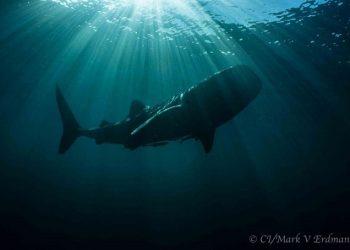 hiu paus
