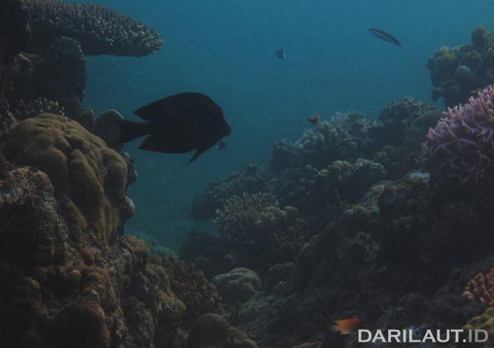 Terumbu karang di Pulau Sulawesi. FOTO: DARILAUT.ID