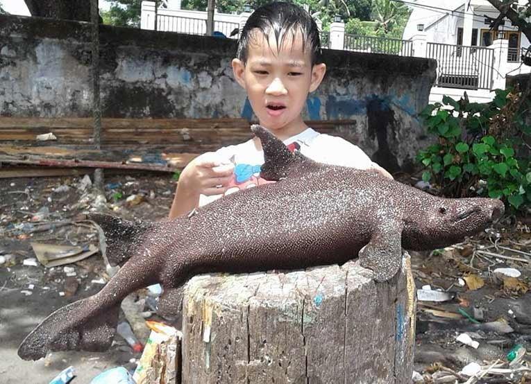 Hiu Prickly Dogfish Manado