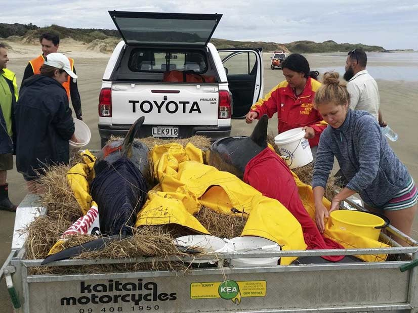 Paus pembunuh pygmy