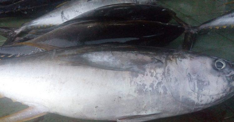 Kulit ikan tuna