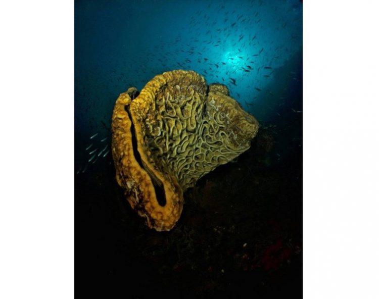Bunga karang raksasa