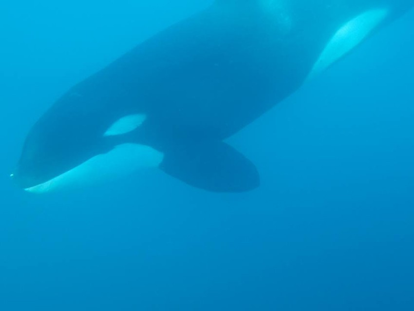 Paus orca