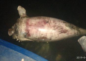 Dugong tanpa kepala ditemukan di Senggarang, Tanjungpinang, Selasa (7/5). FOTO: BPSPL PADANG