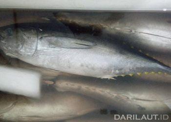 Tuna sirip kuning segar dari Teluk Tomini, WPP 715. FOTO: DARILAUT.ID