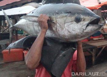 Ikan tuna sirip kuning atau  madidihang (Thunnus albacares). FOTO: DARILAUT.ID