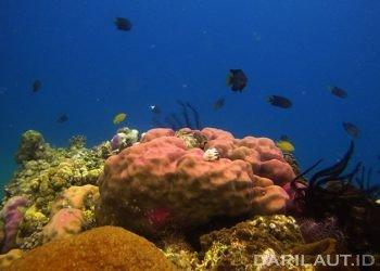 Terumbu karang dan asosiasi berbagai jenis ikan. FOTO: DARILAUT.ID