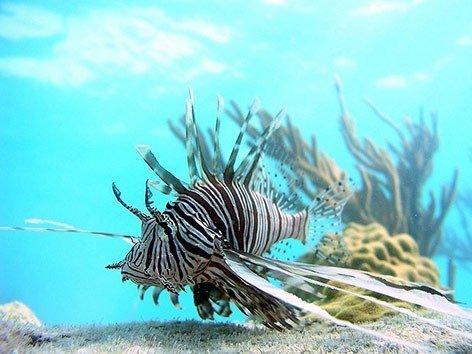 Lionfish. OREGON STATE UNIVERSITY VIA LIVESCIENCE.COM