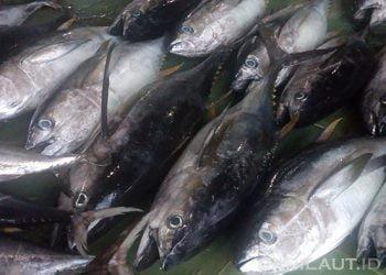 Ikan tuna sirip kuning (yellowfin tuna) atau madidihang. FOTO: DARILAUT.ID