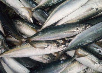 Ikan lajang. FOTO: DARILAUT.ID