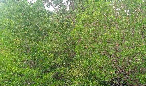 Ilustrasi mangrove. FOTO: DARILAUT.ID