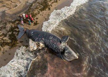 North Atlantic Right Whales. FOTO: OCEANA.ORG