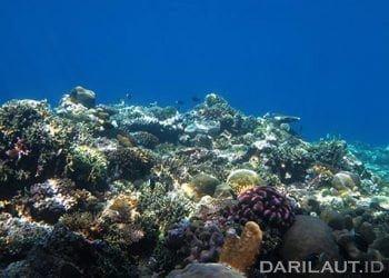 Asosiasi terumbu karang dan ikan. FOTO: DARILAUT.ID