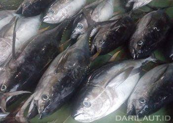 Yellowfin tuna FOTO: DARILAUT.ID