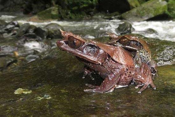Katak tanduk Kalimantan (Megophrys kalimantanensis). FOTO: TOMOHIKO SHIMADA VIA LIPI.GO.ID