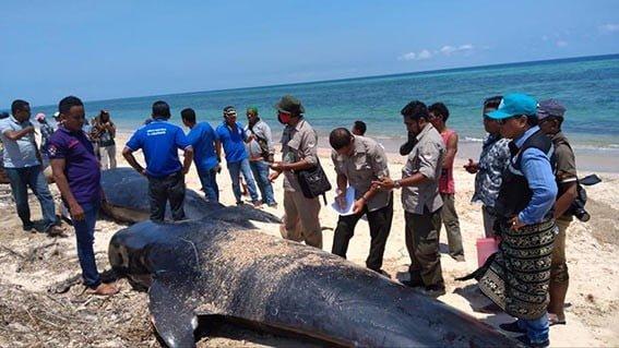 Proses penguburan 6 paus pilot yang ditemukan terjebak saat surut di kolam air Desa Meniak Kecamatan Sabu Barat, Kabupaten Sabu Raijua, Nusa Tenggara Timur, Jumat (11/10). FOTO: BKKPN KUPANG