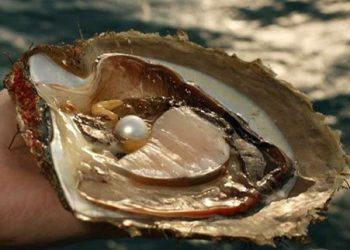 Mutiara Laut Selatan (South Sea Pearl) diperoleh dari spesies kerang PINCTADA MAXIMA. FOTO: ISTIMEWA