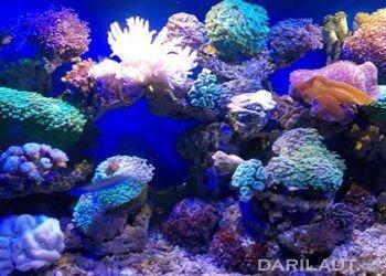 Ilustrasi karang hias. FOTO: DARILAUT.ID