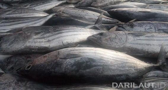 Ikan cakalang. FOTO: DARILAUT.ID