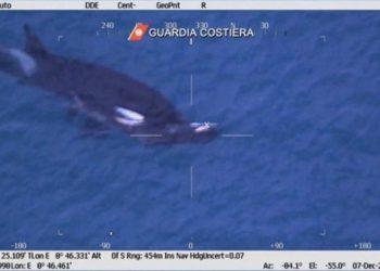Induk paus orca yang masih terlihat membawa dan mendorong anaknya yang sudah mati perairan Pelabuhan Genoa, Italia, 7 Desember 2019. FOTO: TWITTER/@Quad_Finn